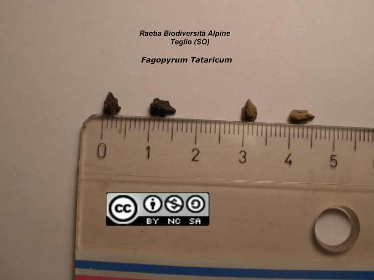 Fagopyrum Tataricum