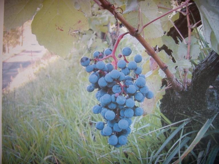 grappolo di Nibiò dal peduncolo rosso