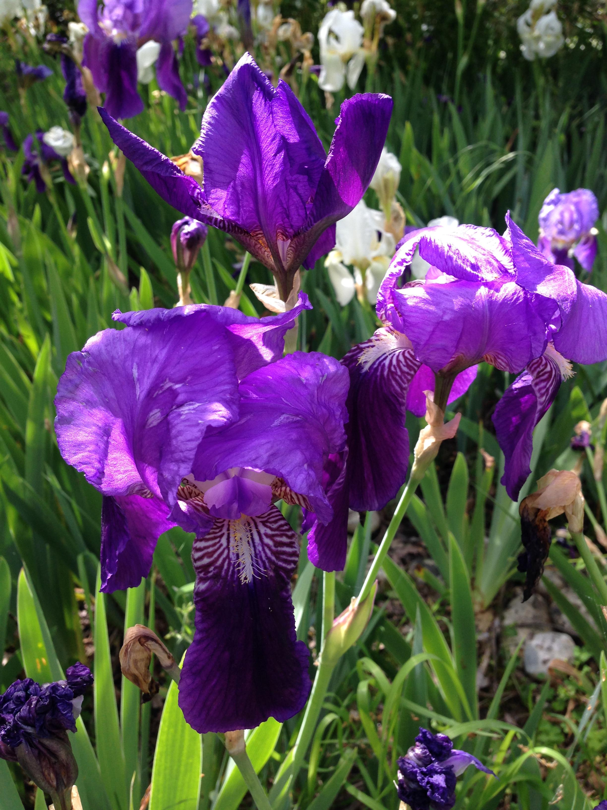 Iris dell'Architetto - Blu