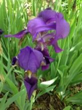 Iris dell'Architetto