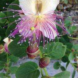 Fondazione Alario - Fiore di Cappero 1
