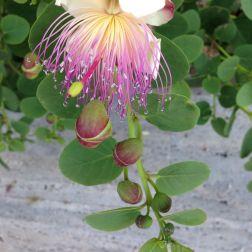 Fondazione Alario - Fiore di Cappero 5