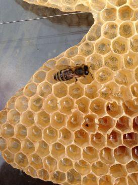 Ceves - Ape che cerca il miele