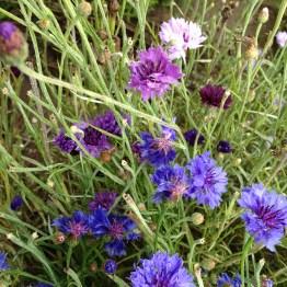 Pflegerhof - Fiordalisi Azzurri Viola e Bianchi