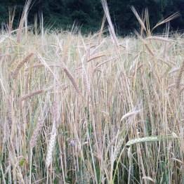 Raetia - Cereali a Giugno (4)