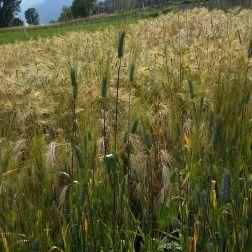 Raetia - Cereali a Giugno (7)