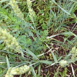 Salmsein - Misto Cereali di Montagna (8)
