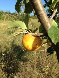 Frutteto Giovanni Caputo - Mela Gialla con Ruggine