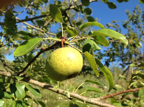 Frutteto Giovanni Caputo - Pera Nasci