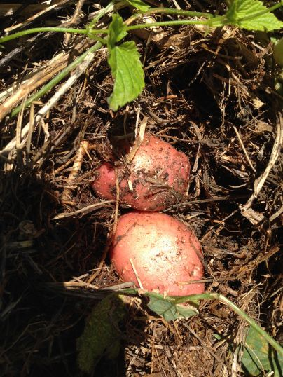 Raetia Biodiversità Alpine - Patate Sotto la Paglia Patate Rosewall
