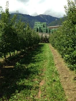 Azienda Agricola Franchetti - Filari con diserbo chimico