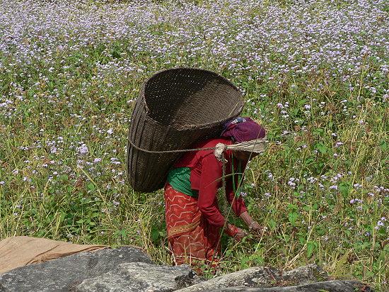Buchweizen-Ernte-Nepal