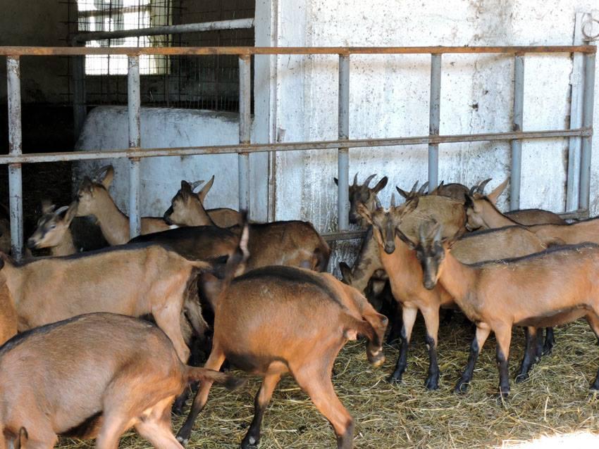 cascina lattuada capre _