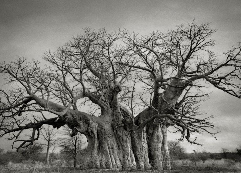 Bufflesdrift Baobab