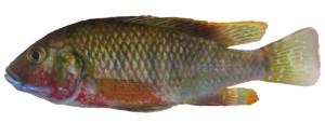 Lufubuchromis relictus, male