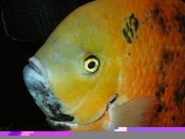 Cincelichthys bocourti 11
