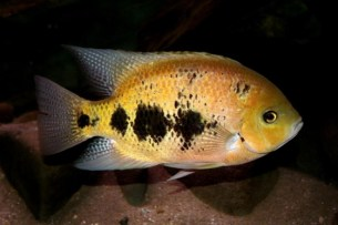 Cincelichthys bocourti 17