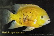 Cincelichthys bocourti 21