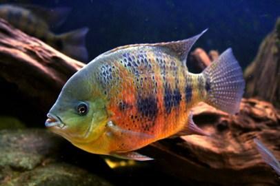Cincelichthys bocourti 25