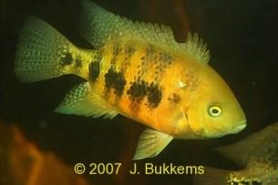 Cincelichthys bocourti 28