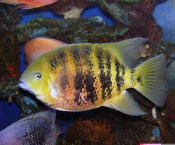 Cincelichthys bocourti 32