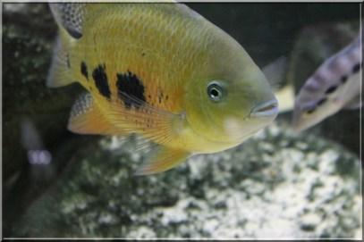 Cincelichthys bocourti 5