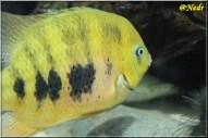 Cincelichthys bocourti 7