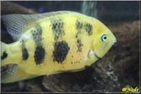 Cincelichthys bocourti 9