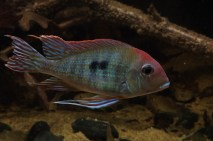 Geophagus sp Read Head Tapajos 6