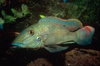 Retroculus lapidifer male