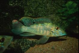 ciclide-americane-Retroculus-xinguensis