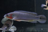 Crenicichla cf.Lugubris Tocantins femelle