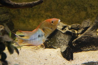 Geophagus sp. Read Head Tapajos F1 13