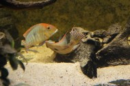 Geophagus sp. Read Head Tapajos F1 14