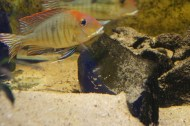 Geophagus sp. Read Head Tapajos F1 5