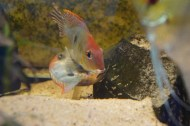 Geophagus sp. Read Head Tapajos F1 7