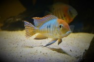 Geophagus sp. Read Head Tapajos F1