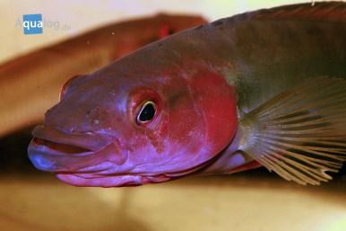 creni-cf-lugubris-red-atabapo-portrait