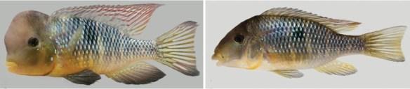 Gymnogeophagus labiatus, drainage de laguna dos Patos et affluents de Serra Geral au drainage de rio Tramandaí