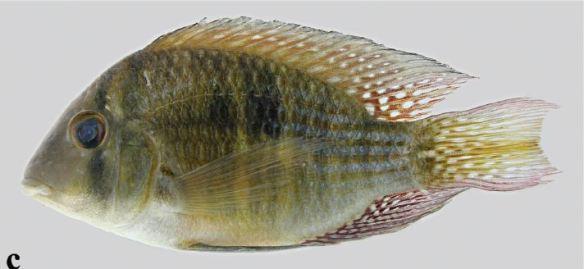 Gymnogeophagus meridionalis rio inférieur Paraná et rio Uruguay