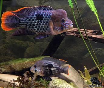 Andinoacara rivulatus (17)