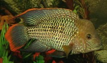 Andinoacara rivulatus (28)