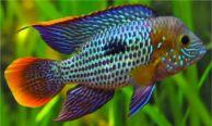 Andinoacara rivulatus (39)
