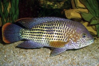 Andinoacara rivulatus (7)