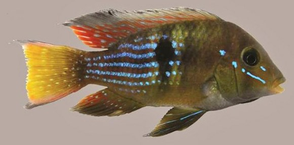 Gymnogeophagus-terrapurpura