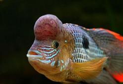 andinoacara-rivulatus-gobba