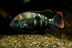 femelle Andinoacra rivulatus