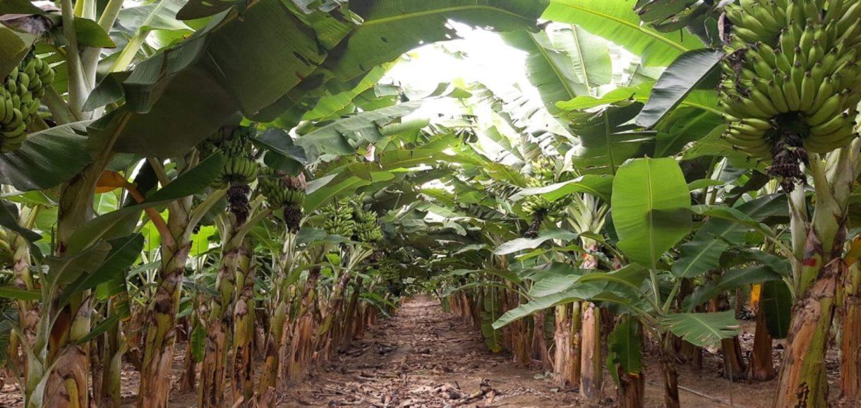 Produção agrícola: Piauí exporta bananas para 4 estados do Brasil