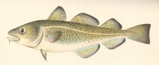Atlantic cod. Picture courtesy State of New York Forest, Fish and Game Commission