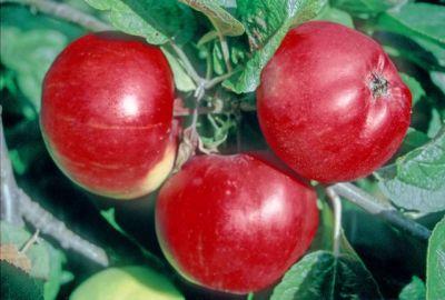 Tom Putt apples